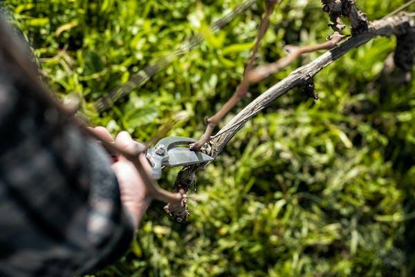 木蓮を剪定する方法