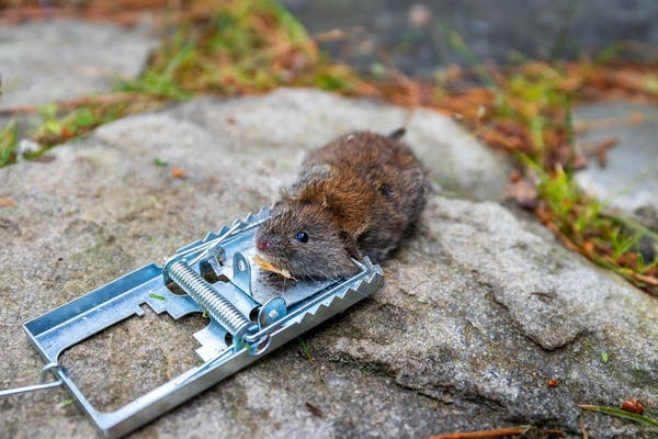 ネズミ 捕り シート