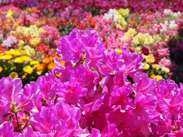 剪定 さつき さつきの剪定は時期を守って!来年もきれいな花を咲かせる方法とは 生活110番ニュース