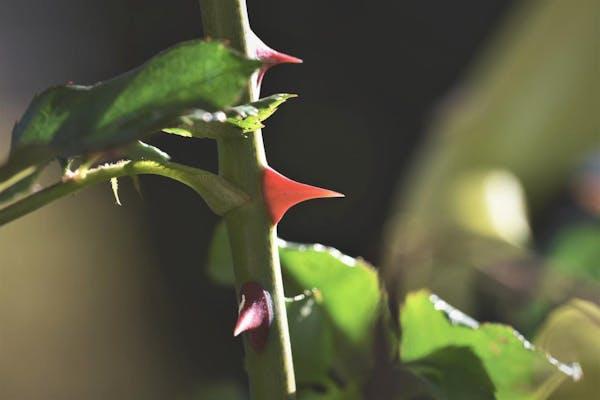 バラのトゲ
