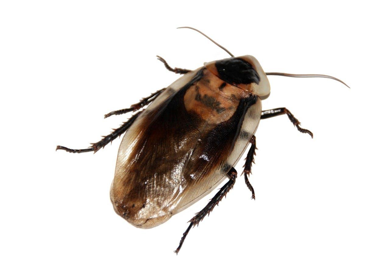 侵入 経路 ゴキブリ