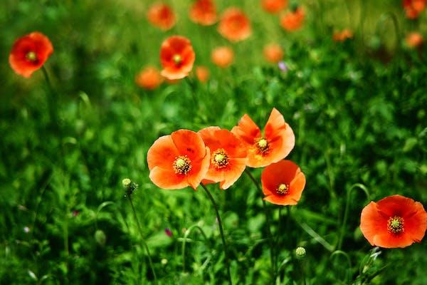 オレンジ色の花を咲かせるナガミヒナゲシ