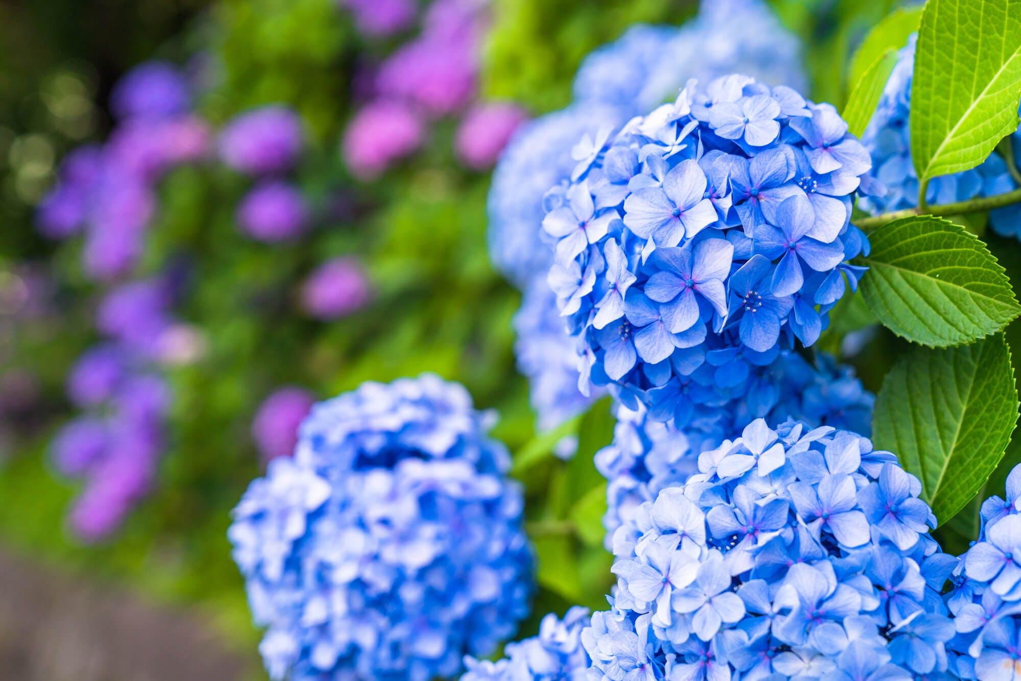 挿し木 時期 紫陽花 植え 替え