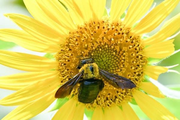 クマバチとひまわり