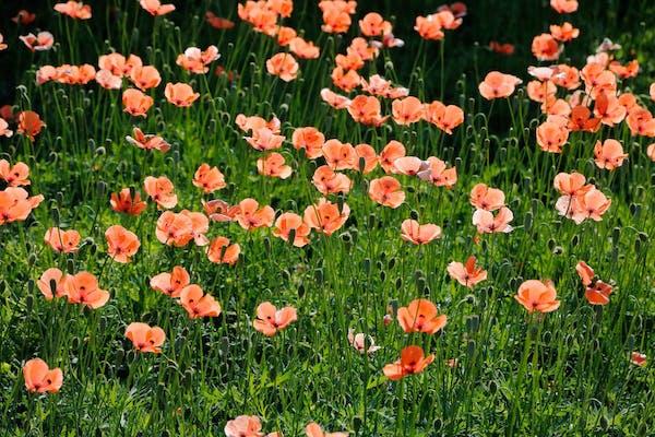 たくさんの花を咲かせるナガミヒナゲシ