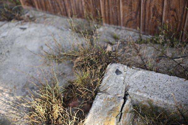除草剤散布で枯れたスギナ