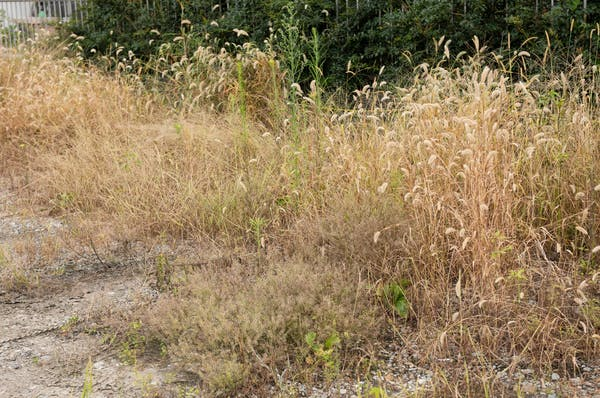 除草剤を撒いて枯れた雑草