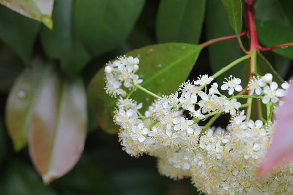 カナメモチの花と雨雫