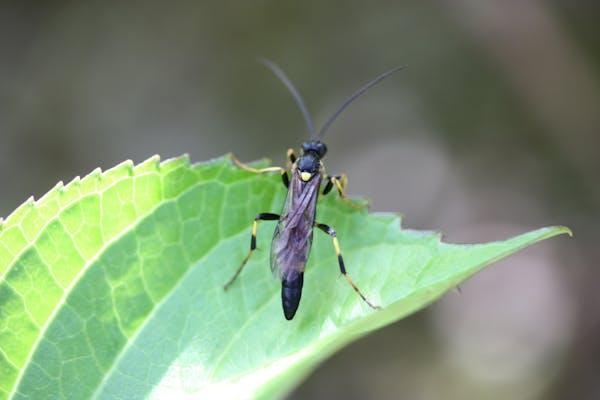 アジサイの葉の上のジガバチ