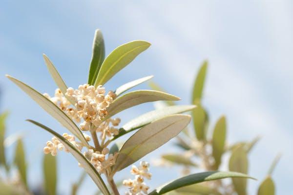 オリーブの花 アルベキナ