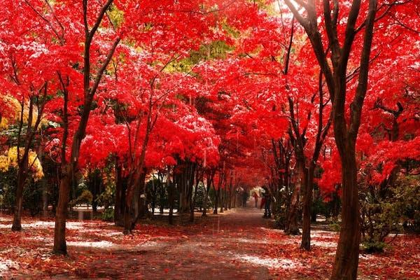 葉が赤く染まっているノムラモミジ
