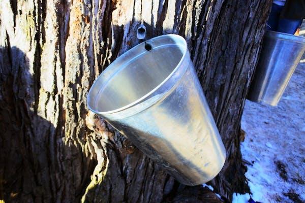 樹液の取り方