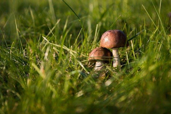 芝生の管理をしてキノコを防ぐ