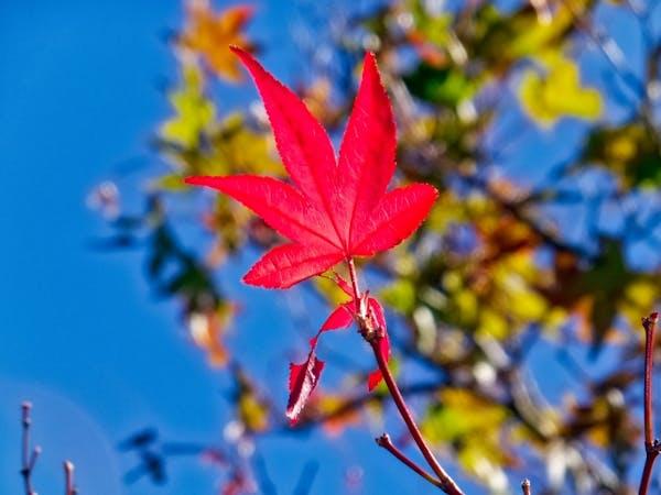ノムラモミジの葉