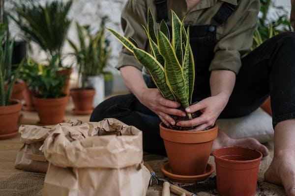 植物を鉢から出す人