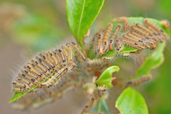 毛虫の種類一覧と見分け方 色の特徴や毒の有無を画像で見極めてから対処しよう ミツモア