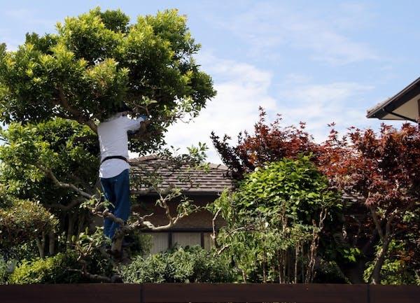 庭木に登って剪定する男性