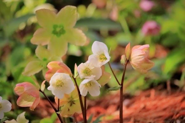 小さな白い花を咲かせるクリスマスローズ