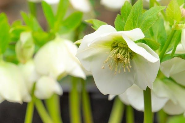 白い花を咲かせるクリスマスローズ