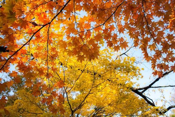 葉を紅葉させるイタヤカエデ