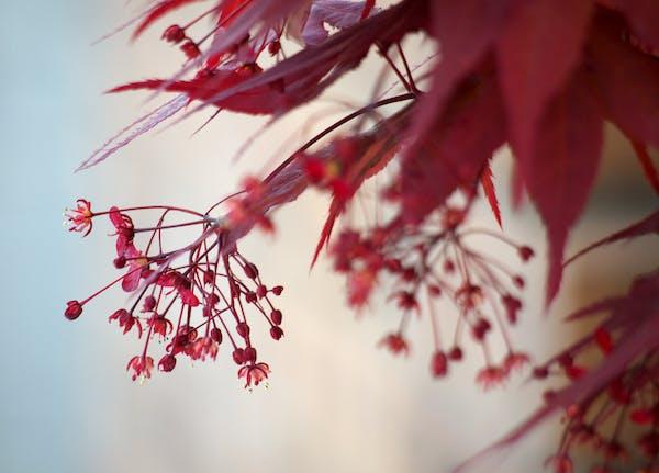ノムラモミジの花
