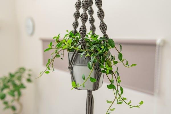 鉢植えのつる植物