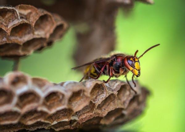 スズメバチの女王の危険性