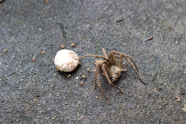 アシダカグモの卵から出てくる子グモたち