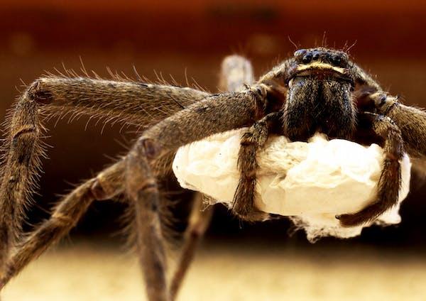 卵嚢(らんのう)を抱えたアシダカグモ