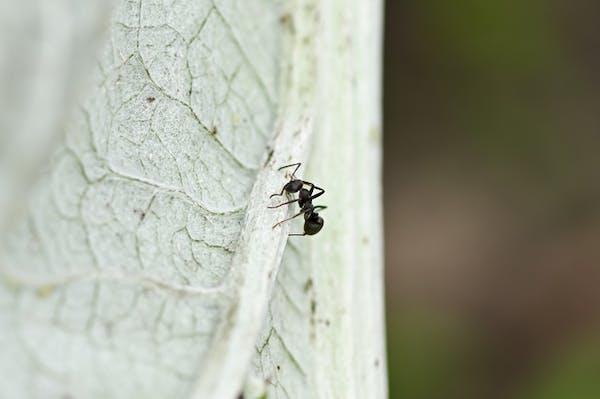 葉の裏のアリ