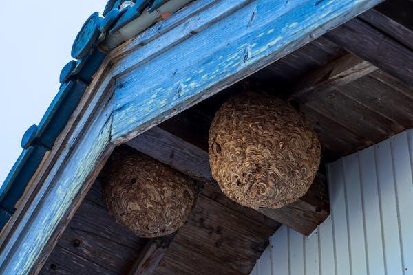 住宅にできたスズメバチの巣