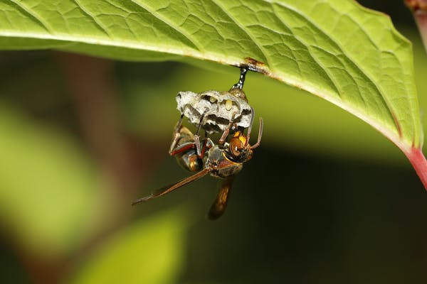 キボシアシナガバチの巣作り