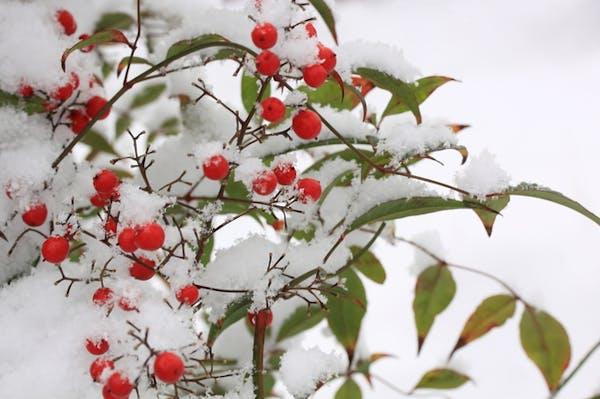 雪の中の南天