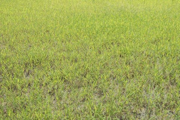 雑草の生えた芝生
