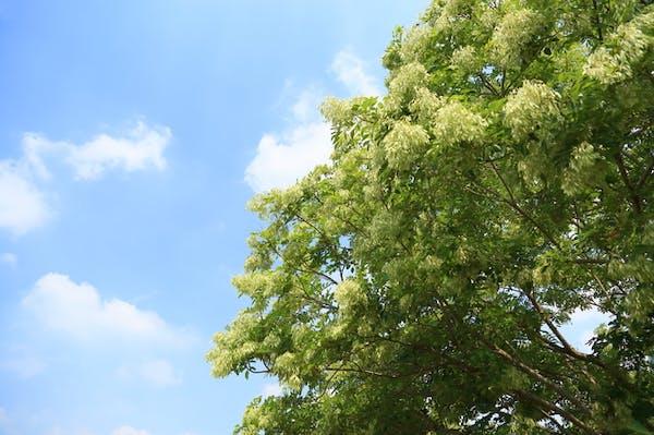 シマトネリコの大きな木